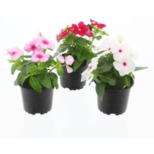 Catharanthus ros. mix - ø10.5cm