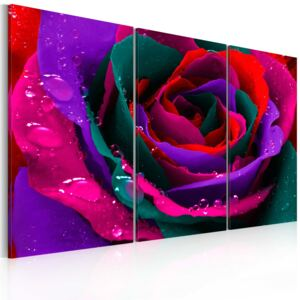 Obraz - Rainbow-hued rose 60x40