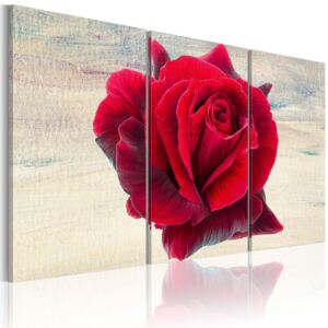 Obraz - Lyrical rose 60x40