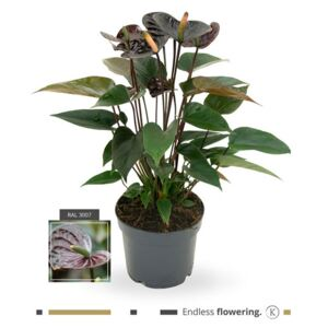 Anthurium Black Love - ø17cm