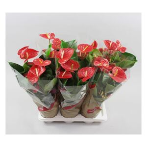 Anthurium Red Winner - ø17cm
