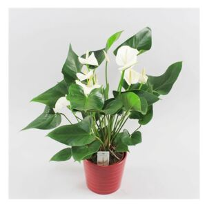 Anthurium White Winner (+ drp.Riva red) - ø19cm