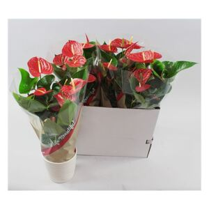 Anthurium Red Winner (+ drp.Riva white) - ø19cm