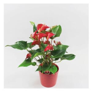 Anthurium Dynamite Red (+ drp.Riva red) - ø19cm