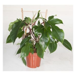 Philodendron Red Wonder - ø19cm