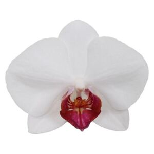Phalaenopsis Red Lips - ø12cm