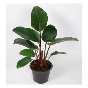 Philodendron Red Congo - ø19cm