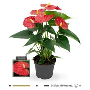 Anthurium Karma Red - ø12cm