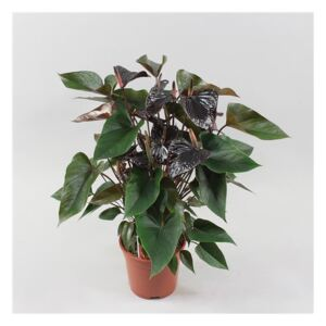 Anthurium Black Beauty - ø17cm
