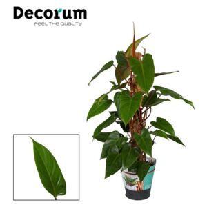Philodendron Red Emerald - ø19cm