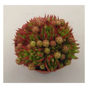 Sempervivum Herta Red - ø8.5cm