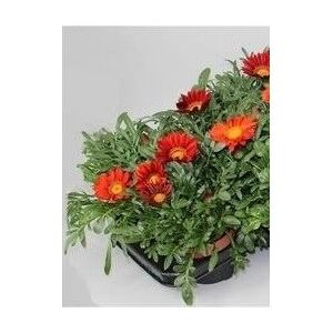 Gazania Big Kiss Red - ø13cm