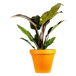 Nieuwkoop Europe BV Philodendron imperial red, průměr 17 cm Filodendron