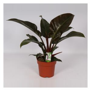 Philodendron Imperial Red - ø14cm